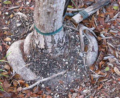 Взрослое дерево с деформированным корнем