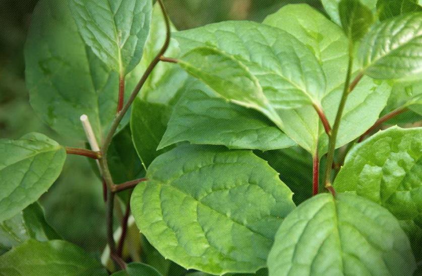 добавив листья лимонника фото запросу