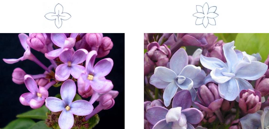 простой и махровый цветок сирени