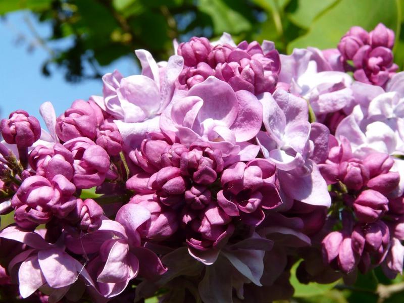 Сирень «Катерина Хавемейер» розоватая, махровая