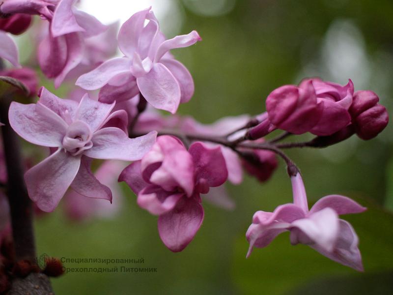 Сирень «Олимпиада Колесникова» розоватая, махровая