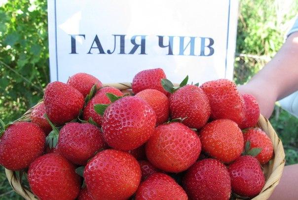 саженцы Клубника Галя Чив