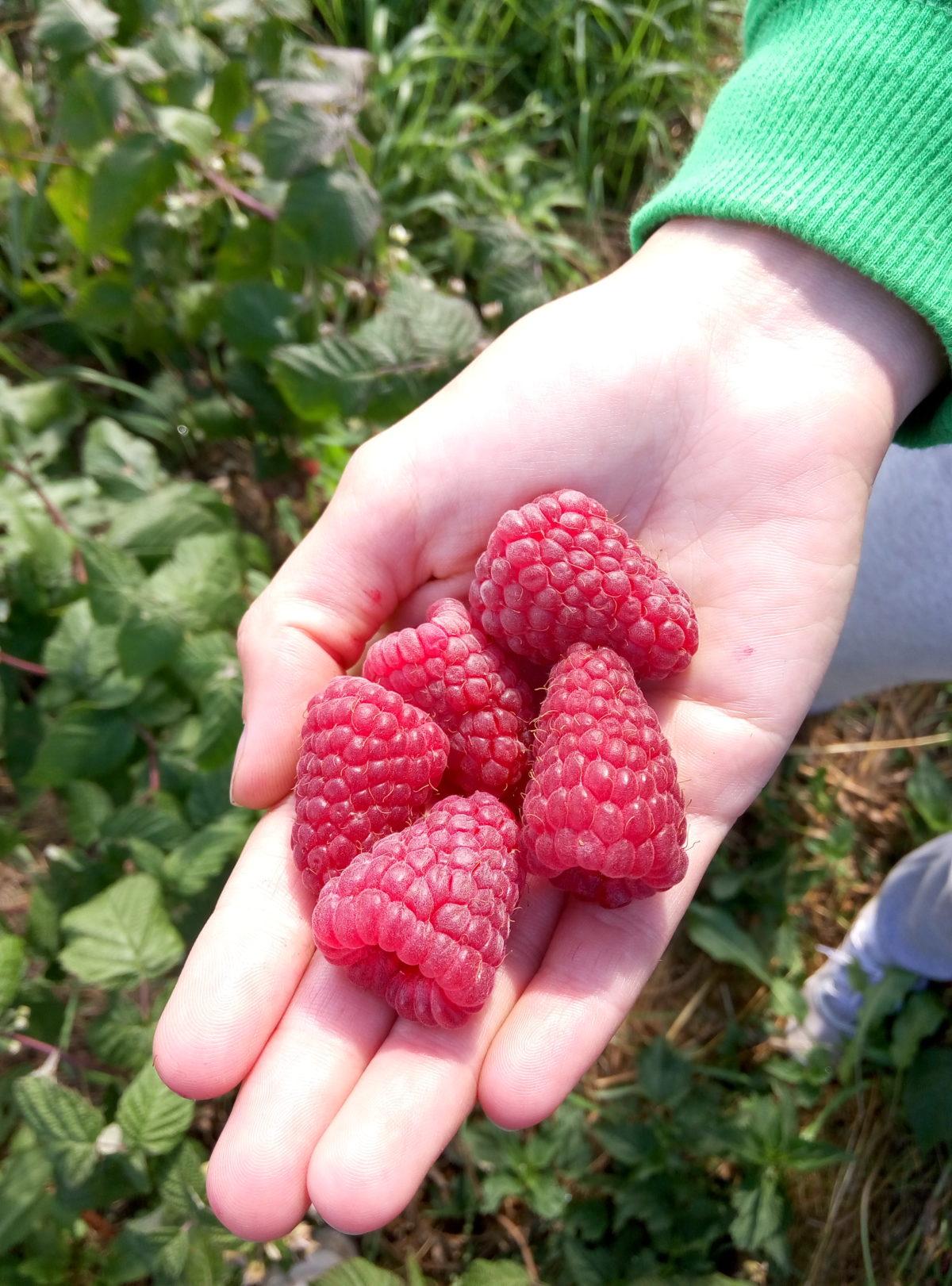 фото ягоды малины брянское диво