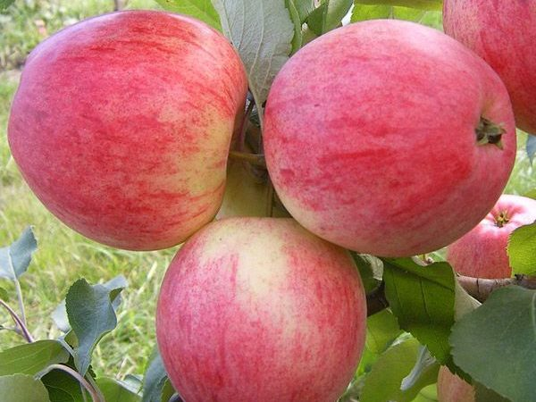 Яблоня «Конфетное»
