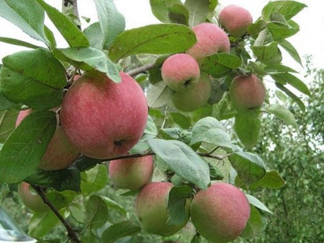 яблоко коричное фото