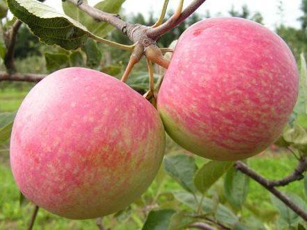 Яблоня «Медуница»