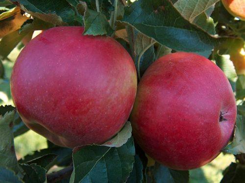 Яблоня «Мельба»