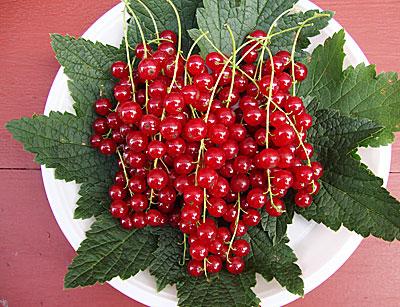 Красная смородина «Натали»