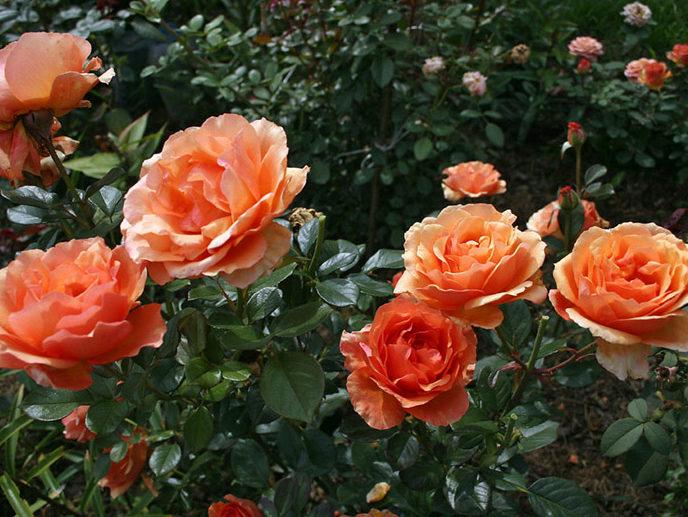 """Роза """"Ашрам"""""""