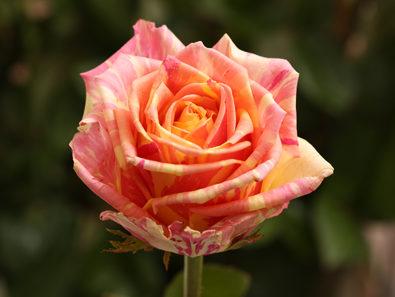 """Роза """"Фиеста"""""""