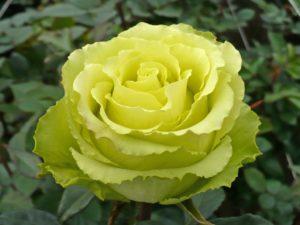 "Роза ""Лимбо"""