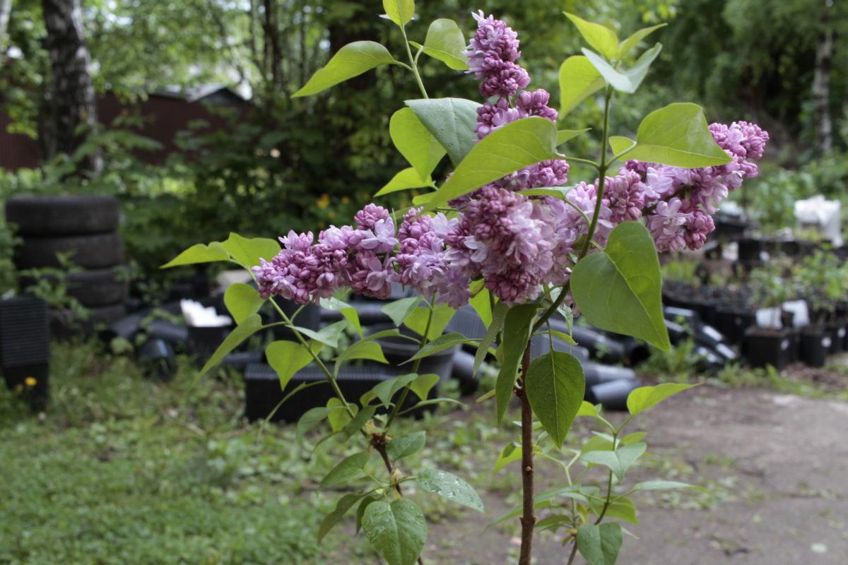 сирень цветет с начала мая и до середины июня