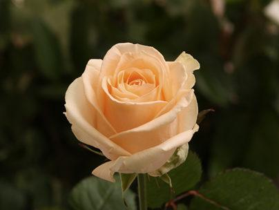 Роза «Пич Аваланш»