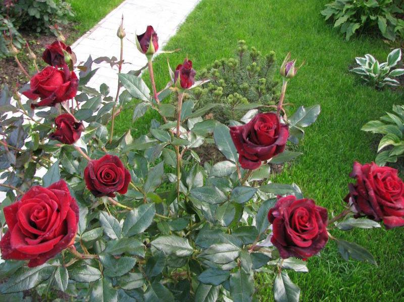 "Роза ""Черная магия"""