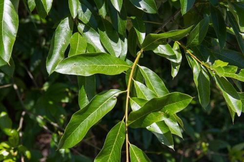 листья дуба черепитчатого