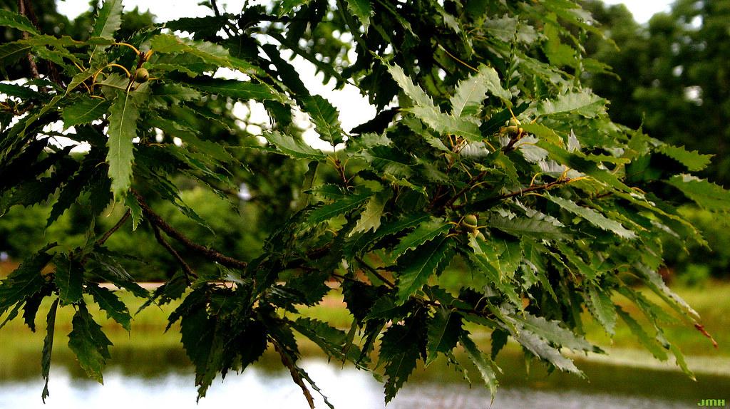 красивые заостренные листья дуба Муленберга