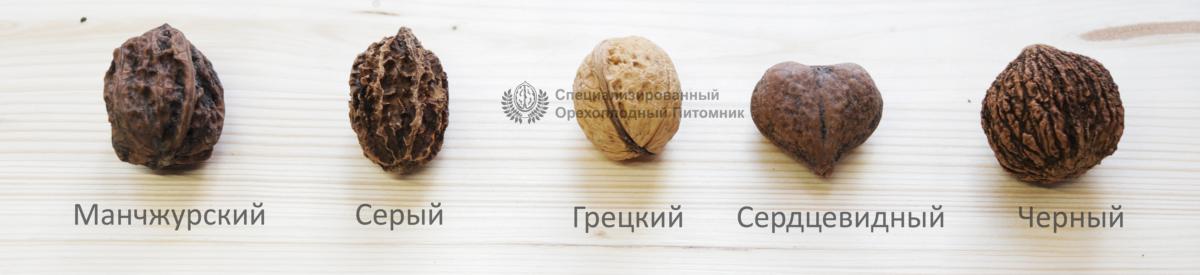 грецкий орех и его родственники