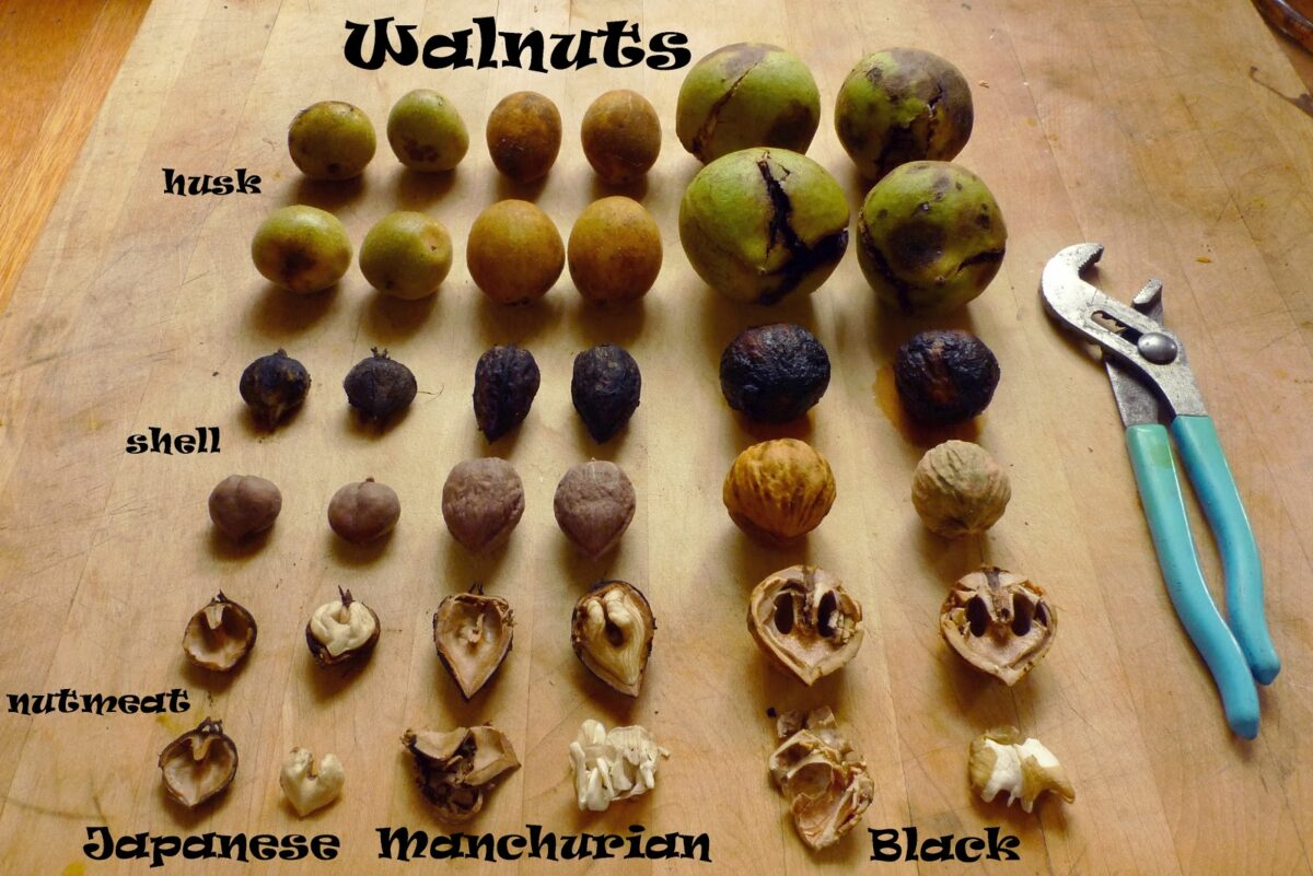 виды ореха