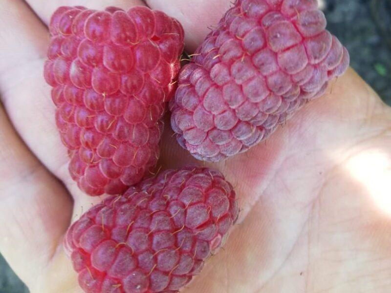 малина лячка, ляшка крупные и вкусные ягоды
