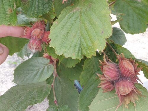 фундук сахаристый фото плодов и листьев