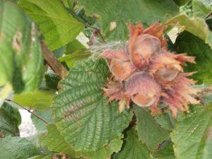Сахаристый фундук плоды