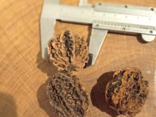 сортовой серый орех